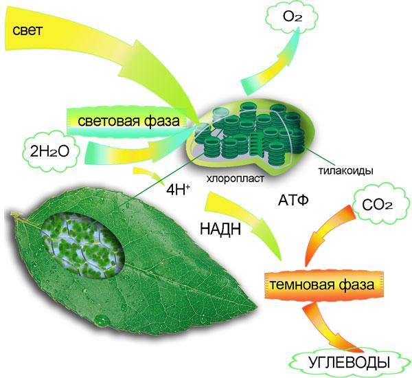 Схематический процесс фотосинтеза