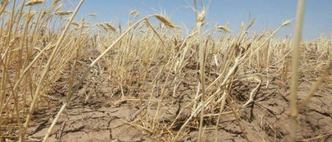 Неурожай пшеницы
